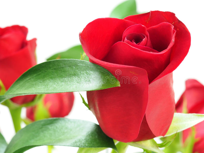 Red roses. Close up on red roses stock photography