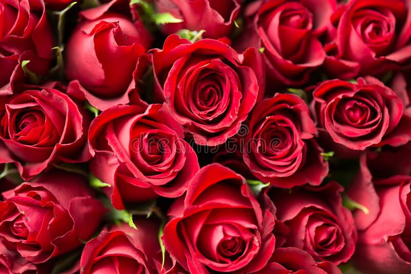 Red Roses Close Up Photography royalty free stock image