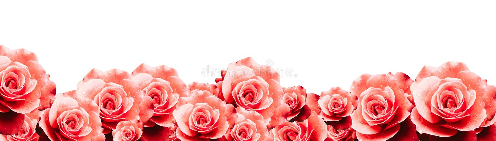 Red roses floral border frame background with wet red pink white roses flowers closeup pattern border panorama. royalty free stock photo