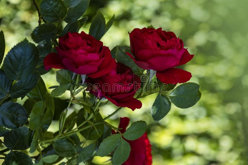 Red roses flower closeup. Shallow depth of field, blurred background royalty free stock photos