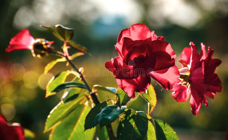 Red roses flowers macro closeup blossom bokeh outdoors nature landscape background calm and relaxing summer sunset. Red roses flowers macro closeup blossom bokeh stock images