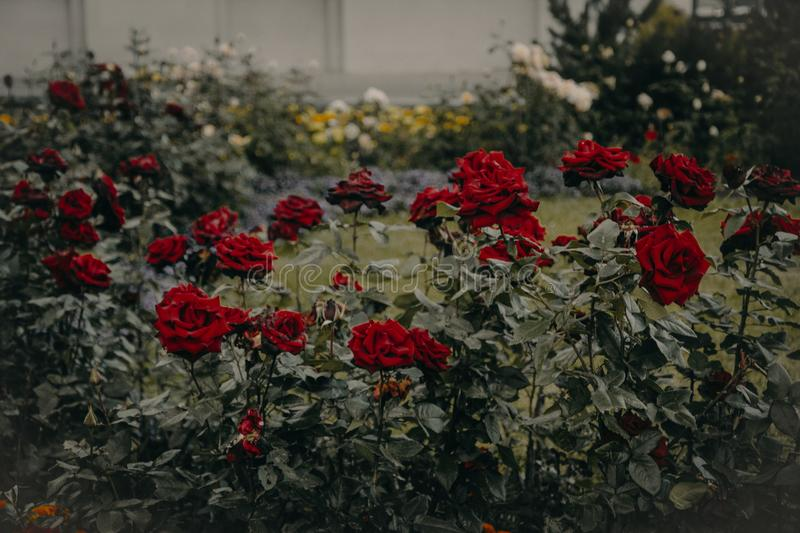 Red Roses Garden in Bloom royalty free stock photo