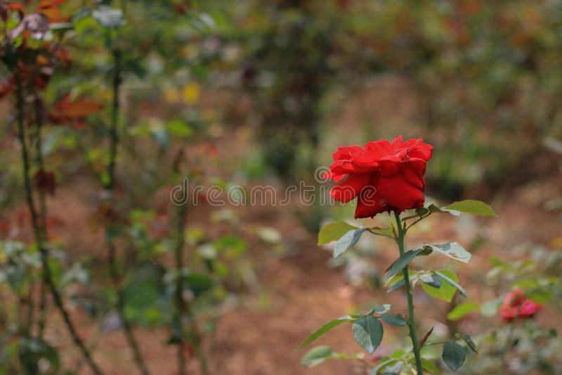Red roses in the garden. Red roses bloom in the garden stock photo