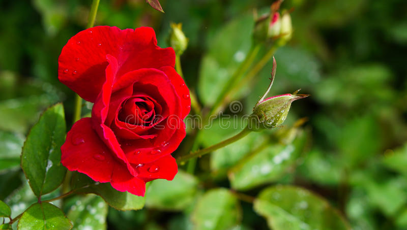Red roses in the garden with sunlight. stock image