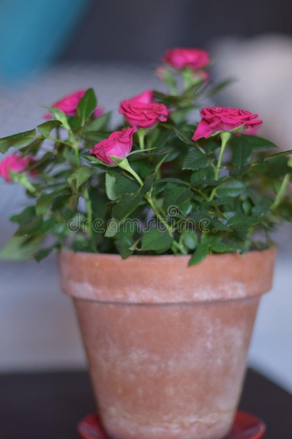 Red roses with green leaves. Red roses houseplant with green leaves in living room. Flowers in pot royalty free stock photos