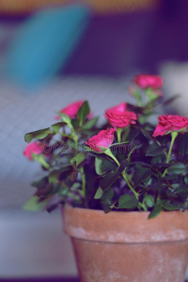 Red roses with green leaves. Red roses houseplant with green leaves in living room. Flowers in pot stock images