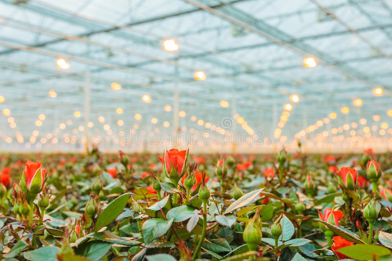 Red roses growing inside a greenhouse royalty free stock photo