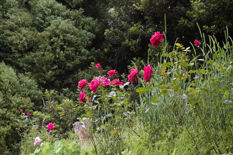 Red roses in a meadow stock photos