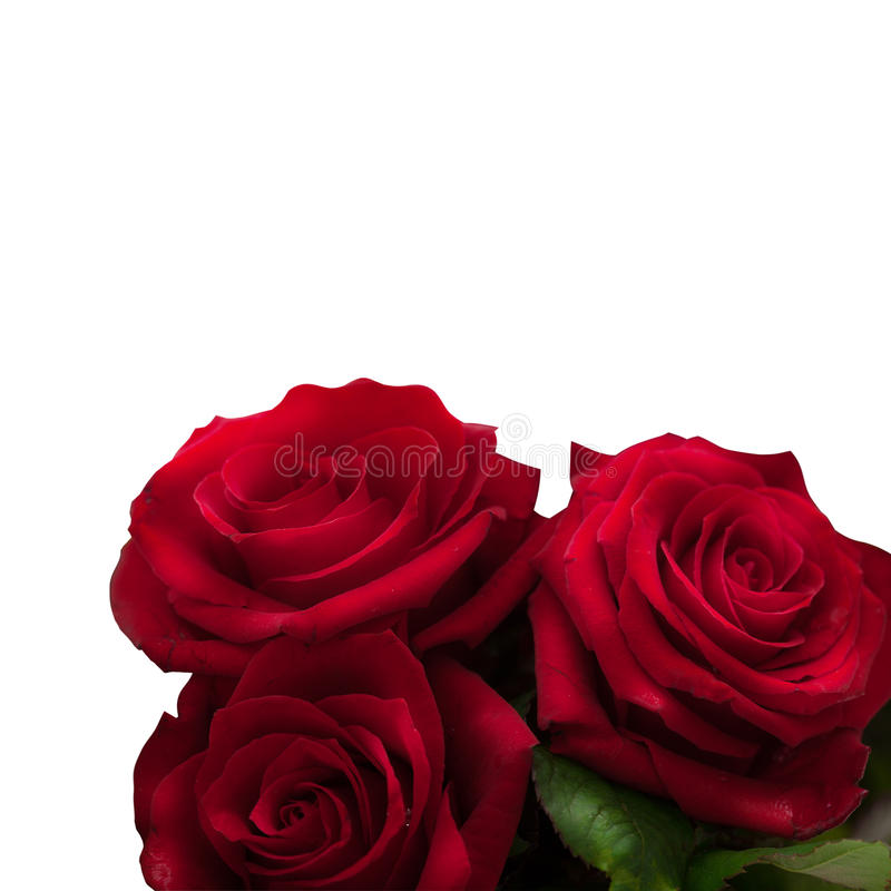 Red roses isolated square royalty free stock images