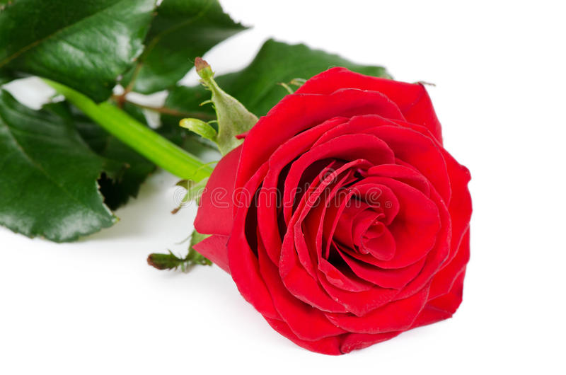 Download The Red Roses On White Background Stock Photo - Image: 29791344