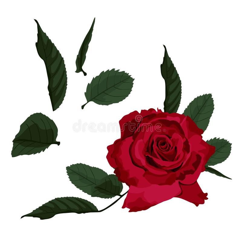 Red roses isolated on white background. Vector illustration. Can be used as invitation card for wedding, birthday and other holid. Ay and summer and spring vector illustration