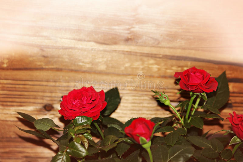 Red roses. Mini red love roses against wood background, with copy space for your text. Valentine`s day background. Mother`s day background. Wedding greetings royalty free stock photo