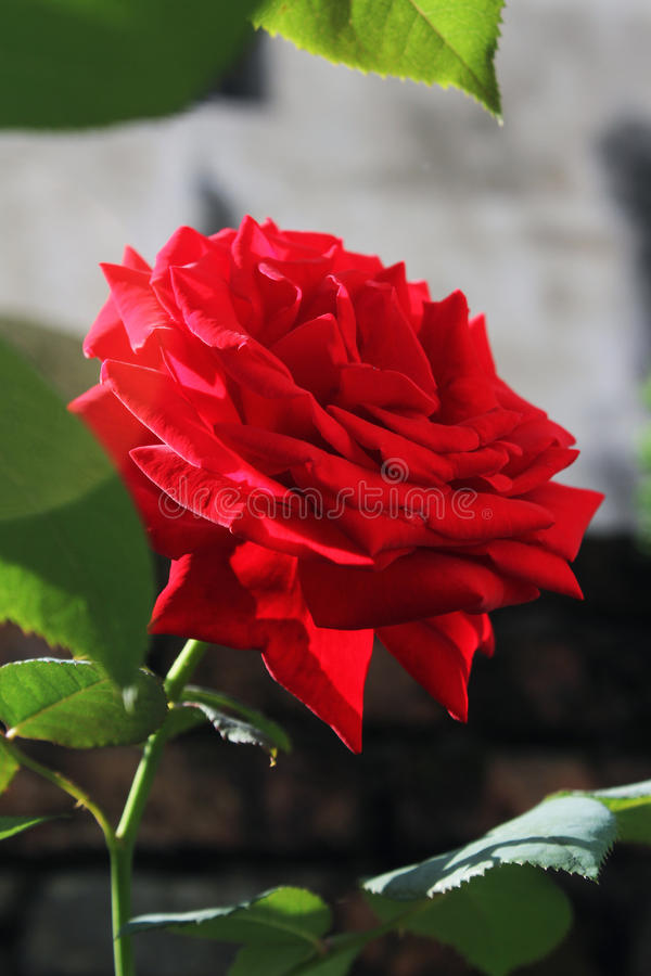 Red roses royalty free stock photos