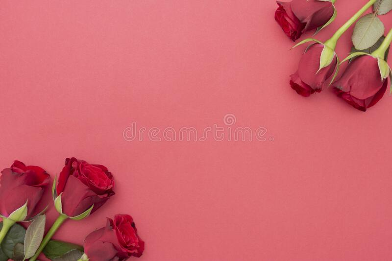 Red roses over red background flat lay. Valentine's Day, Birthday abstract background with copy space. For text royalty free stock image
