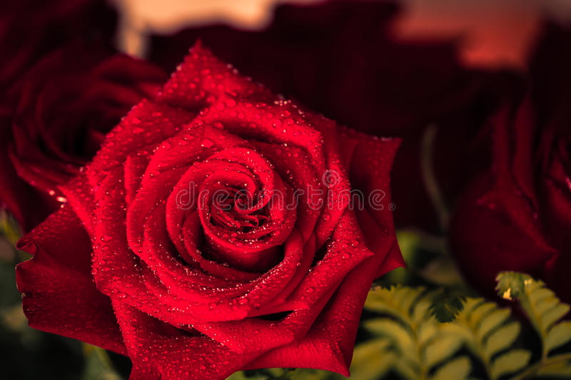 Red roses over valentines day. Macro photo stock photography