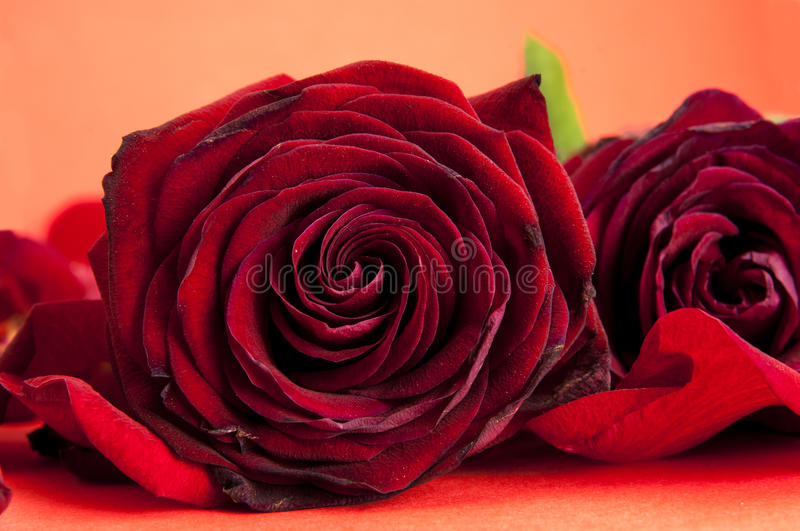 Red roses with petals stock photo