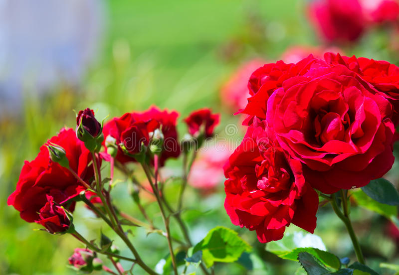 Red roses plant stock images