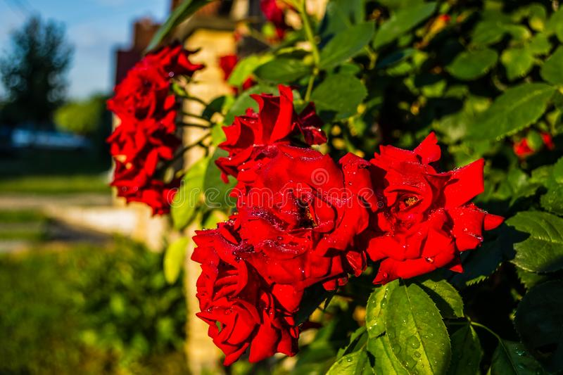 Red roses after the rain royalty free stock photos
