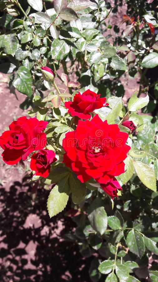 Red roses red royalty free stock photos