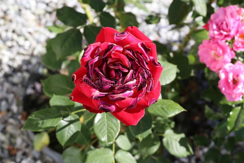 Red roses seared by the sun and heat stock photo
