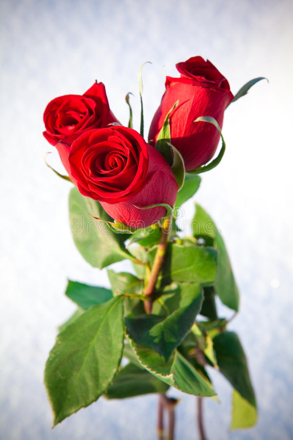Red roses on snow. stock image