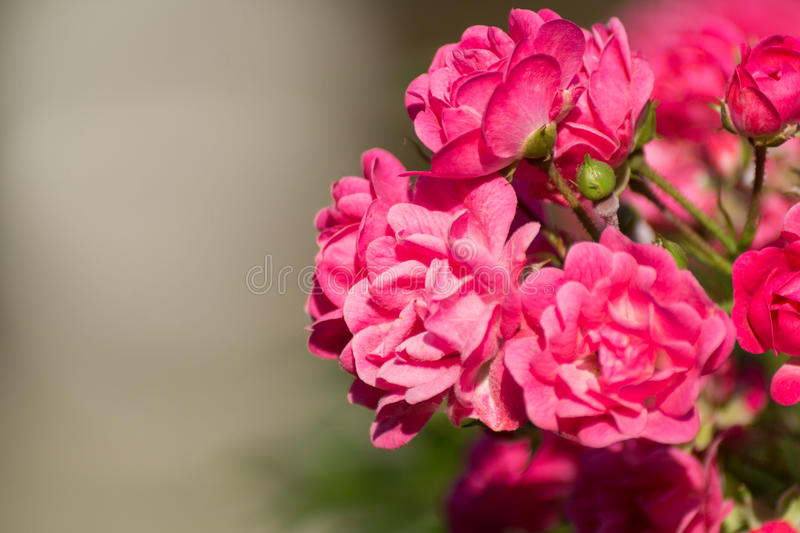 Red Roses in spring. Spring flowers. Close-up of Red Roses in spring. Spring flowers stock photo