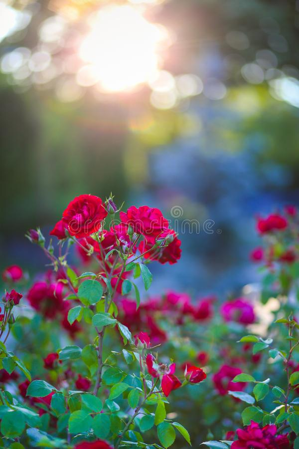 Red roses in the sunset light at Park of Roses, Timisoara. Timis County, Romania stock photography