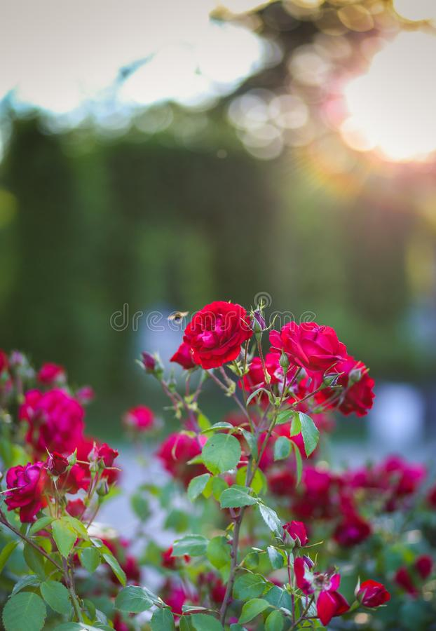 Red roses in the sunset light at Park of Roses, Timisoara. Timis County, Romania stock image