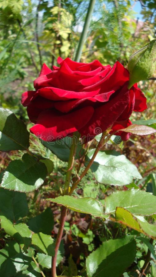 Red Roses Symbolize Love Stock Image Image Of Generally 110879923