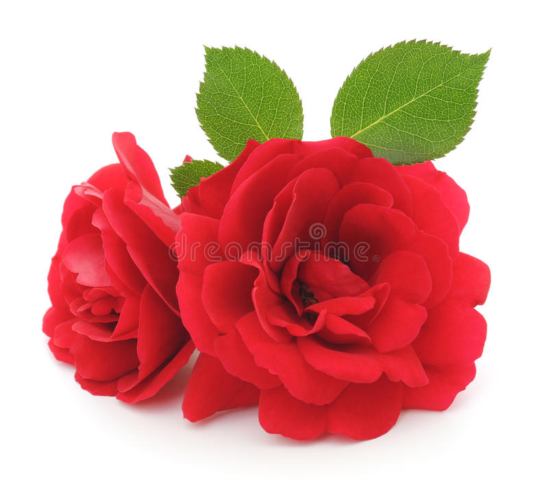 Red Roses. Two beautiful red roses on a white background stock photography