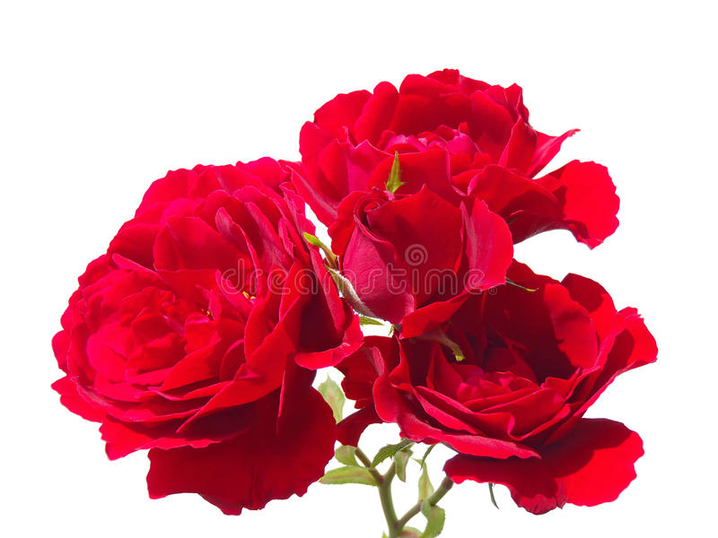 Download Red Roses On A White Background Stock Image - Image: 28200929