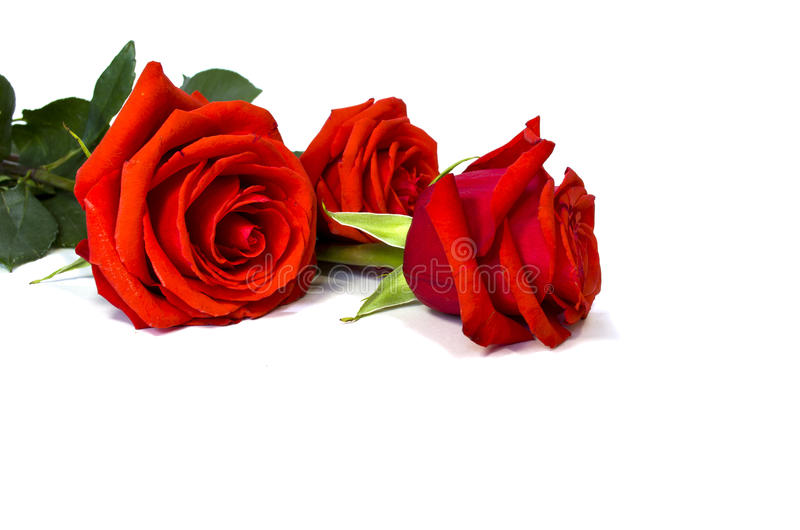 Red roses. On a white background stock images