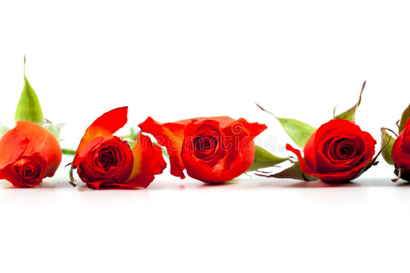 Red roses on a white background. Copy space for text stock photos