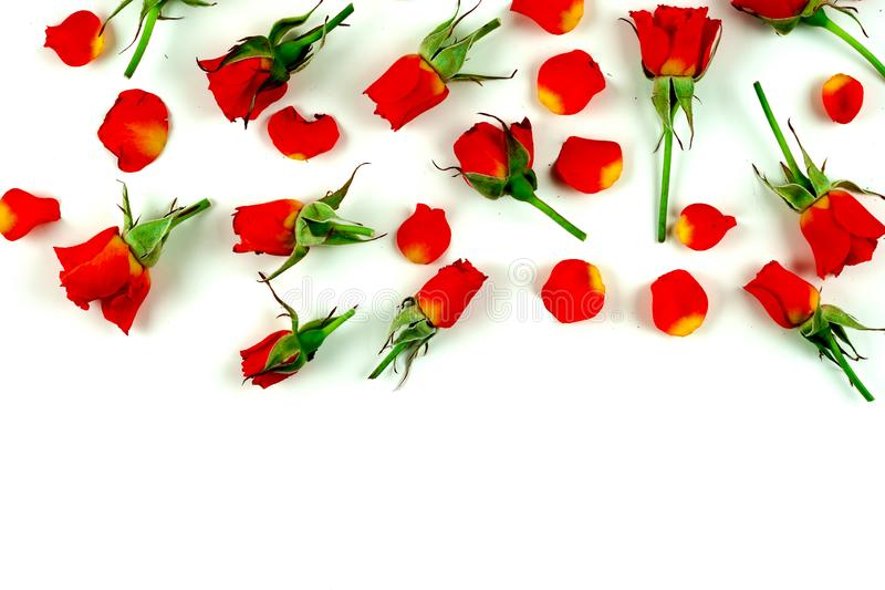 Red roses on a white background royalty free stock image