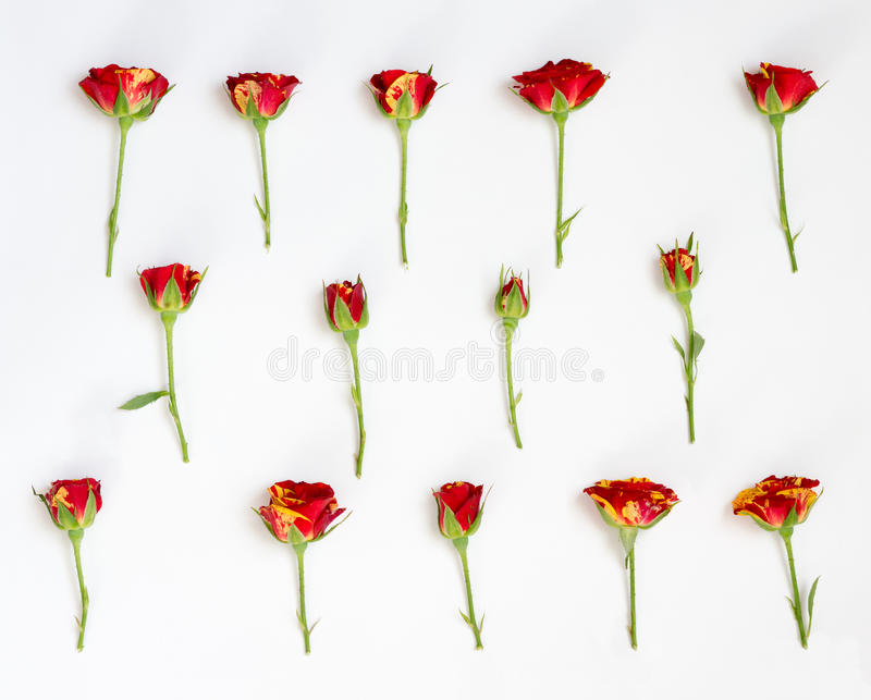 Red roses on a white background. Red roses lay in rows on a white background stock image