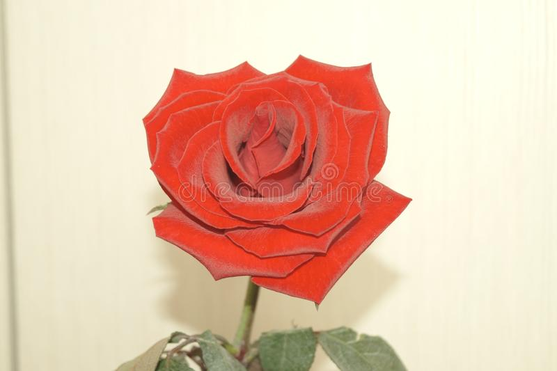 Bright fiery rose royalty free stock photo