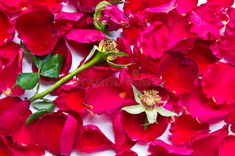 Download Red roses wilt stock photo. Image of closeup, nature - 29253976