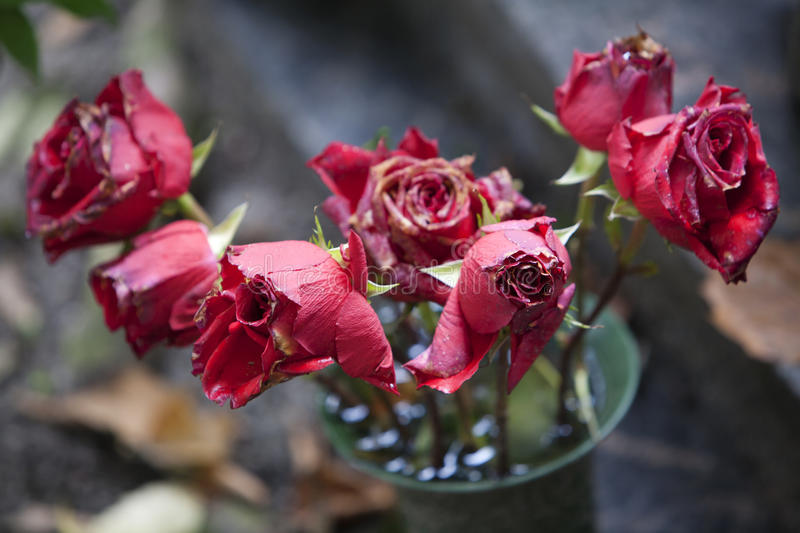 Download Red Roses Wither Stock Images - Image: 33663134