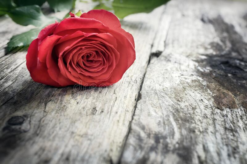 Red rose on wooden background, valentine`s day, romance, thank you, celebration or anniversary royalty free stock photos