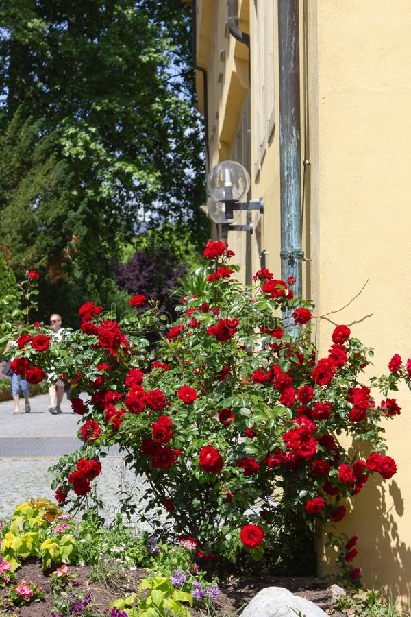 red roses on yellow wall royalty free stock images