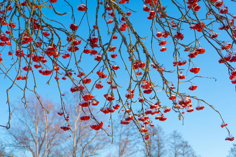 Red rowan berries on the branch in the blue sky background. Scandinavian winter. Swedish nature wallpaper, background. With place for text stock photos