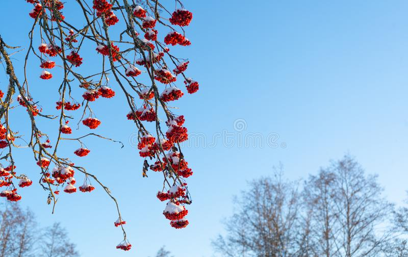 Red rowan berries on the branch in the blue sky background. Scandinavian winter. Swedish nature wallpaper. Background with place for text royalty free stock photography