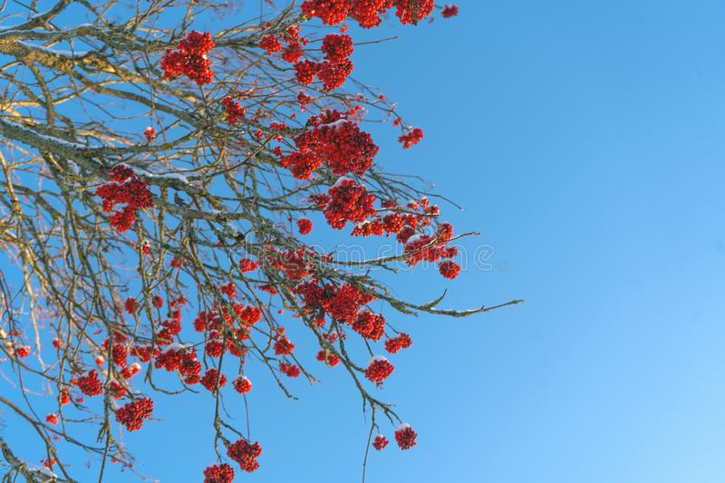 Red rowan berries on the branch in the blue sky background. Scandinavian winter. Swedish nature wallpaper. Background with place for text stock photo