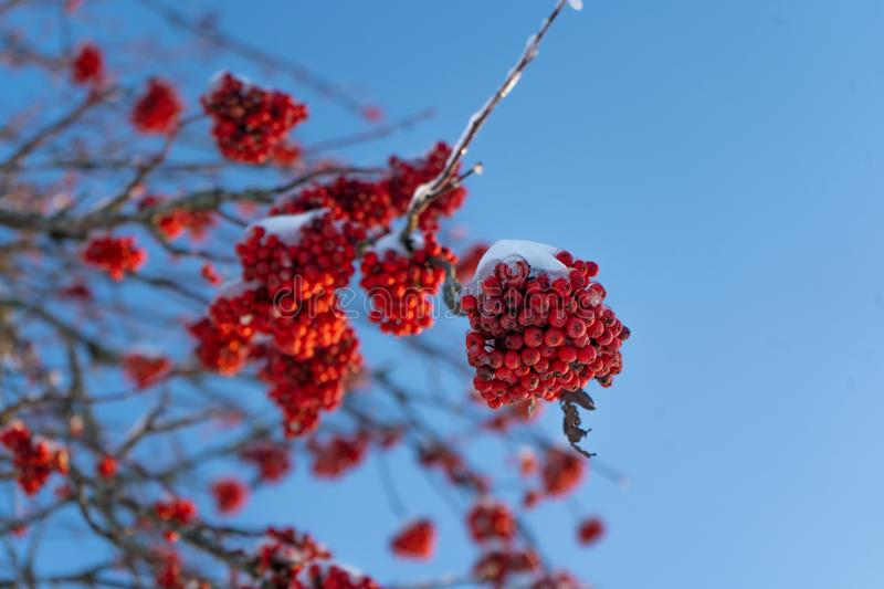 Red rowan berries on the branch in the blue sky background. Scandinavian winter. Swedish nature wallpaper. Background with place for text stock photos