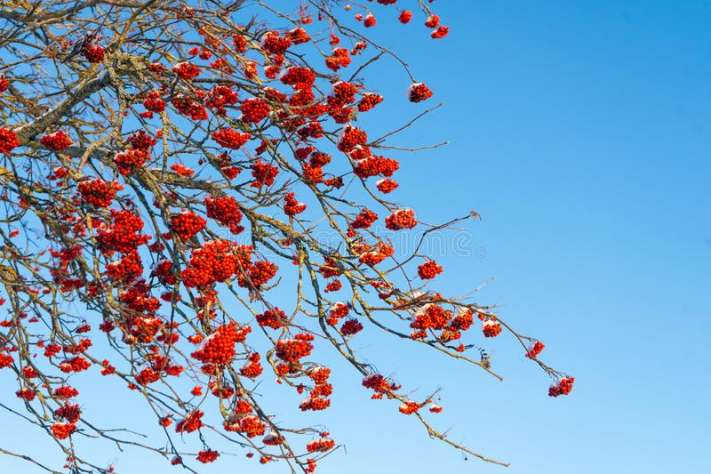 Red rowan berries on the branch in the blue sky background. Scandinavian winter. Swedish nature wallpaper. Background with place for text royalty free stock image