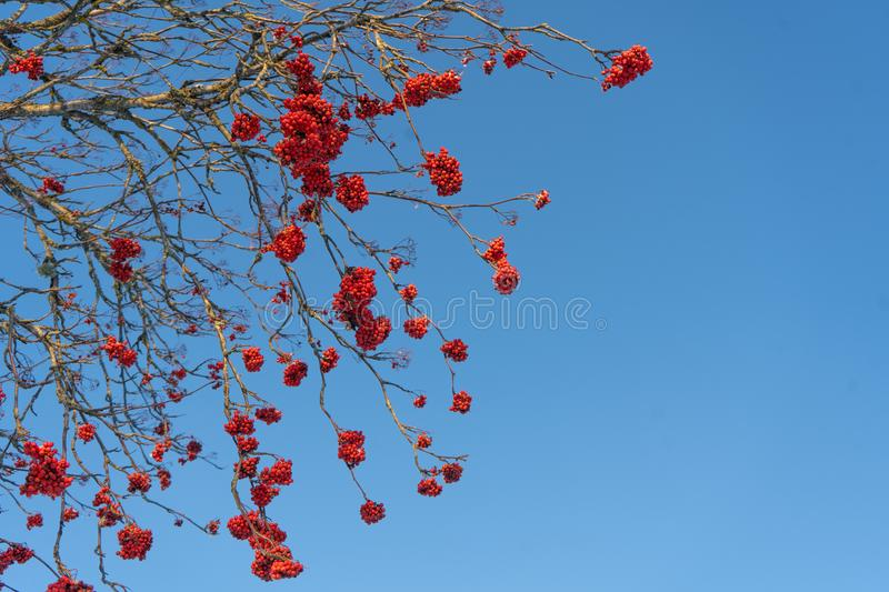 Red rowan berries on the branch in the blue sky background. Scandinavian winter. Swedish nature wallpaper, background. With place for text royalty free stock images