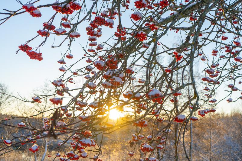 Red rowan berries on the branch in the blue sky background. Scandinavian winter. Swedish nature wallpaper, background. With place for text stock images