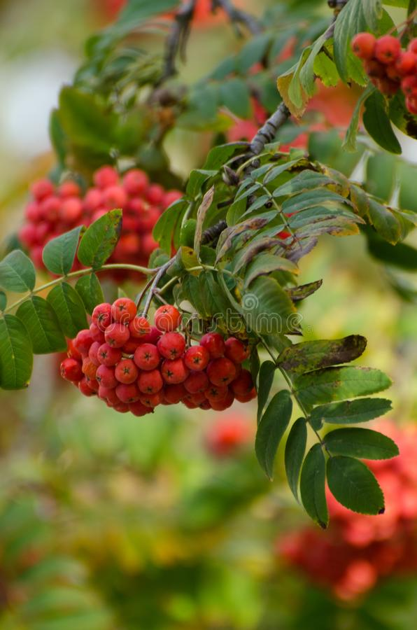 Red Rowan berries on a branch. Ripe mountain ash in autumnal tree. Fall seasonal background. Red Rowan berries on a branch. Ripe mountain ash in autumnal tree royalty free stock photography