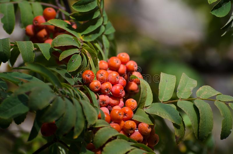 Red Rowan berries on a branch. Ripe mountain ash in autumnal tree. Fall seasonal background. Red Rowan berries on a branch. Ripe mountain ash in autumnal tree royalty free stock images