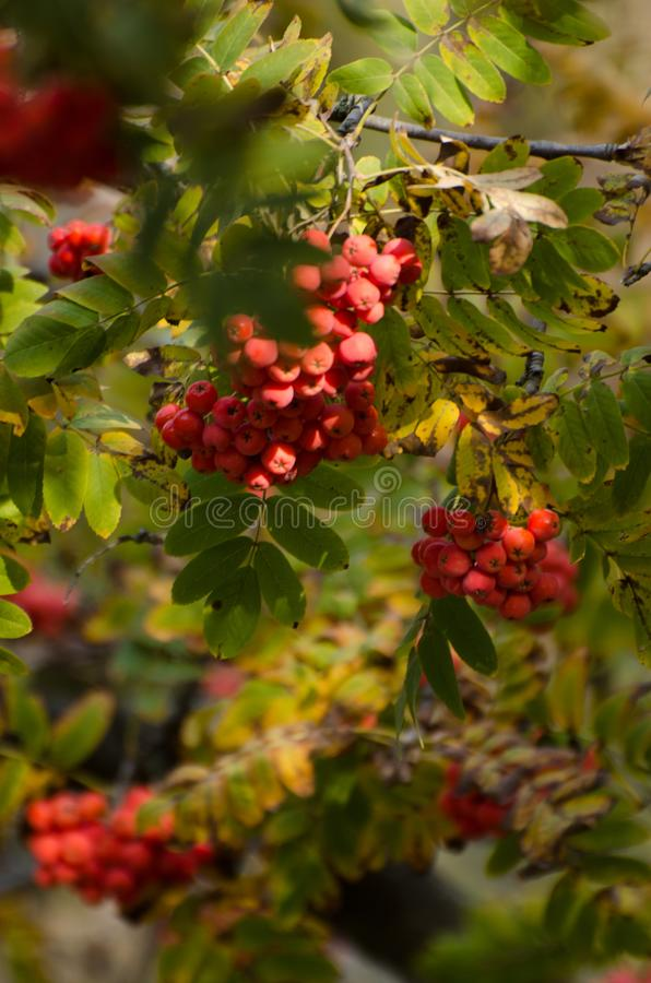Red Rowan berries on a branch. Ripe mountain ash in autumnal tree. Fall seasonal background. Red Rowan berries on a branch. Ripe mountain ash in autumnal tree stock photo